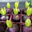 narcis hyacint