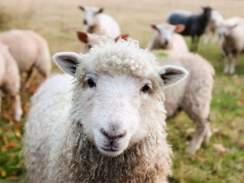 ovci vlna