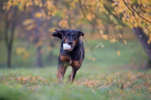 pes kloubni vyziva