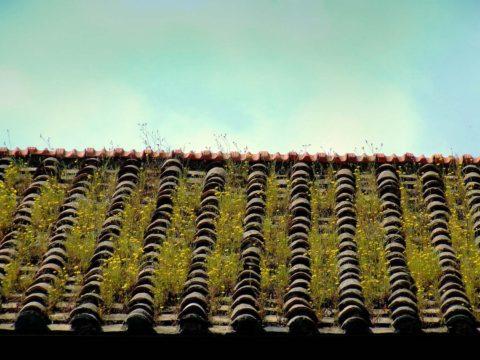 zarostla strecha