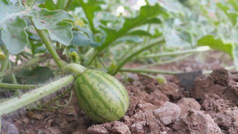 meloun zelenina pestovani