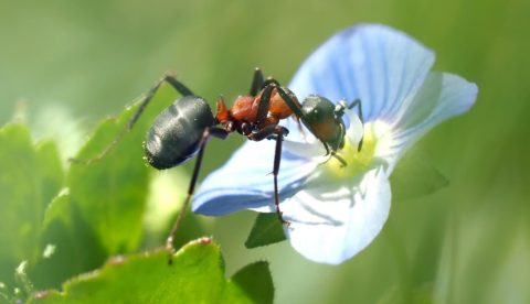 mravenec na zahrade