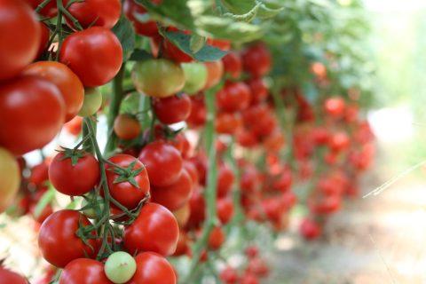 odolne odrudy rajcat