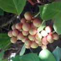 Schizandra chinensis nahled
