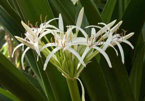 crinum asiatica