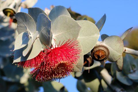 eucalypt kvet