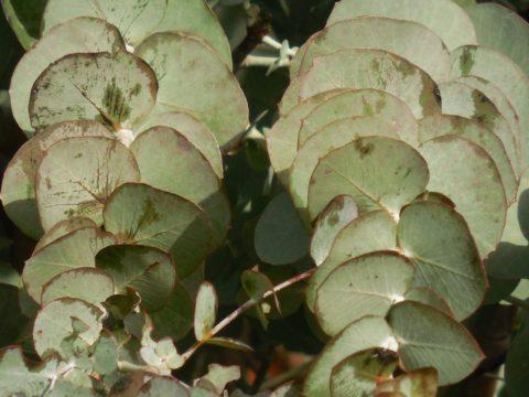 eucalypt pestovani