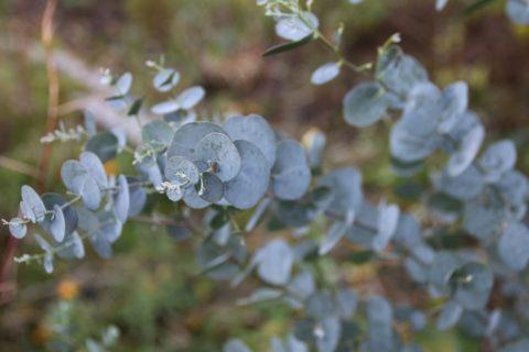 eucalypt stribrny