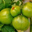 zelena rajcata