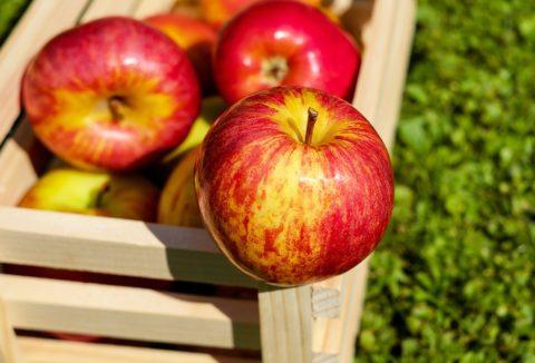 sklizen jablek
