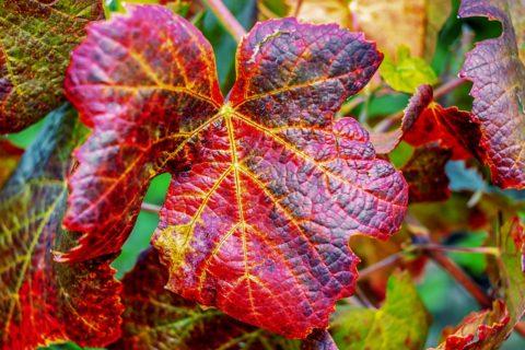 vinna reva na podzim