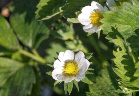 kvetopas jahodnikovy