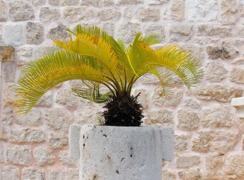 palma vznesena
