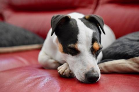 pes v domacnosti