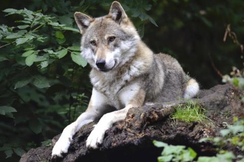 vlci u nas