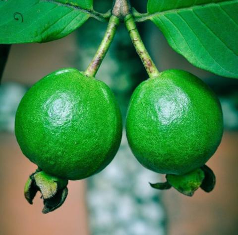 Guajáva