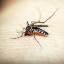 komar nahled