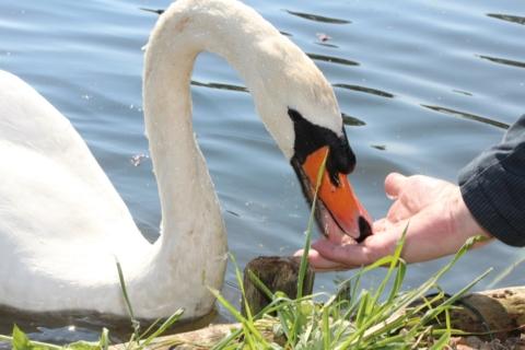 krmeni vodniho ptactva