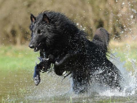 pes ve vode
