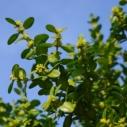 buxus pestovani