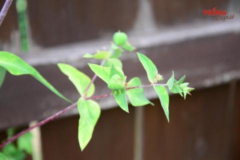 prysec skoccovy semena