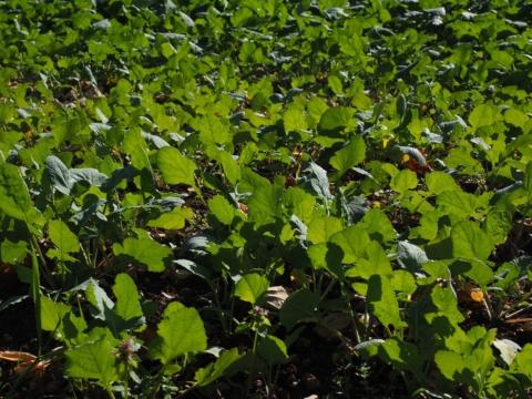 zelene hnojeni