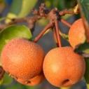 jablkohruska