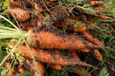 """Pozor na množství dusíku v půdě, ať vaše zelenina """"nezkeřovatí""""."""