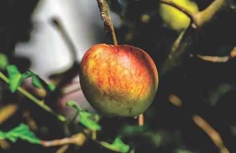 stare odrudy jabloni