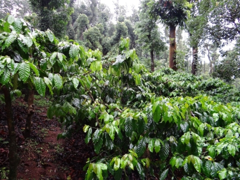 pestovani kavovniku
