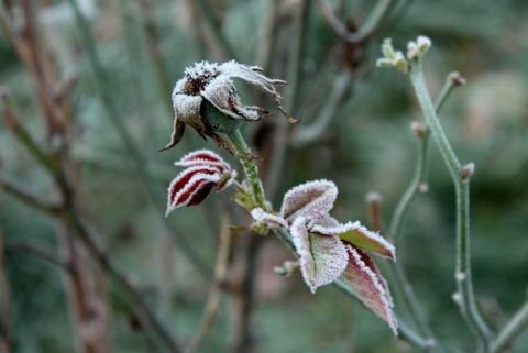 ruze v zime