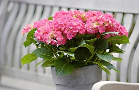 hortenzie v kvetinaci