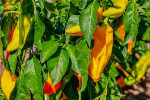 jak vysit papriky