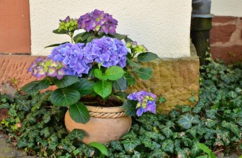 modra hortenzie v kvetinaci