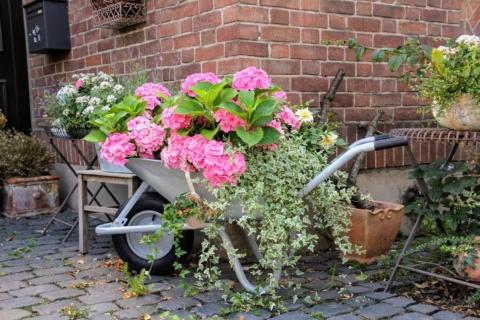 pestovani hortenzie v kvetinaci