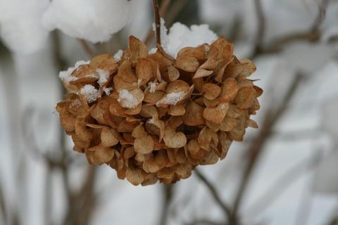 zazimovani hortenzie v kvetinaci