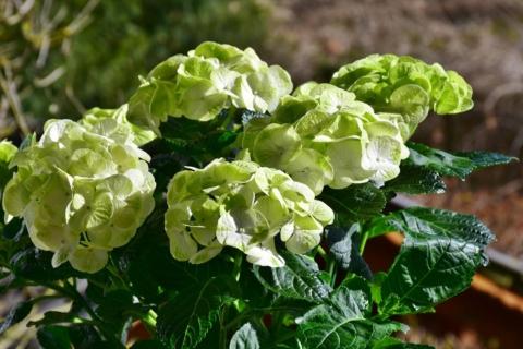 zelena hortenzie v kvetinaci.