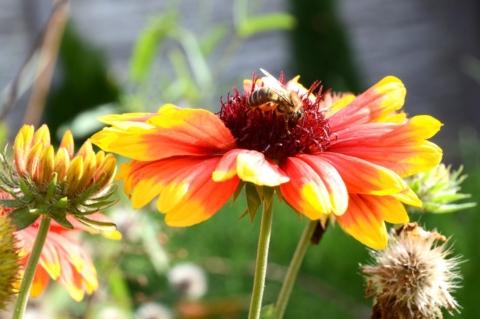 kokarda kvetouci
