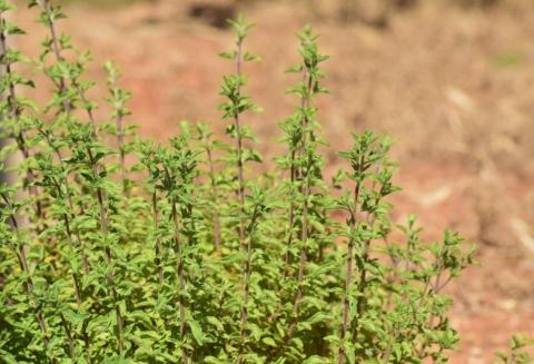 oregano bylinky suchomilne