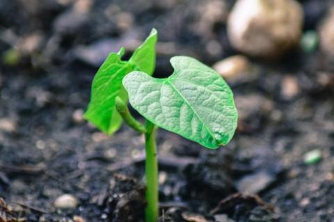pestovani fazoli
