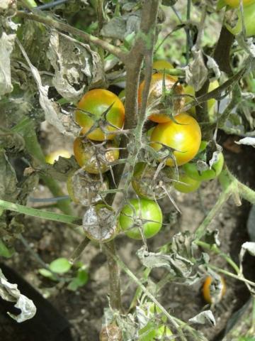 choroby rajcat
