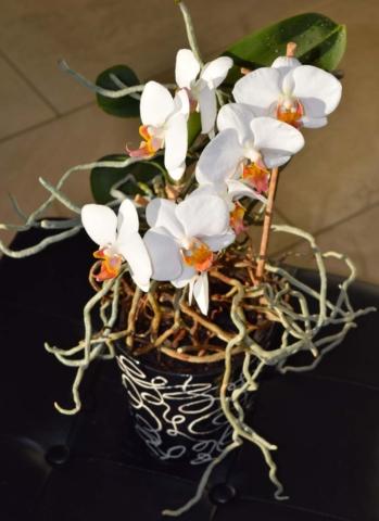 prerostla orchidej