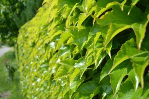 prisavna rostlina na fasadu