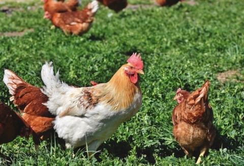 Chovejte slepice a kuřata