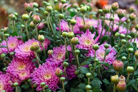 podzimni chryzantemy