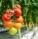 rajcata ve skleniku