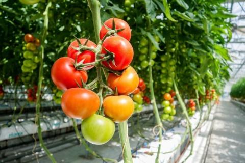 Co pěstovat spolu s rajčaty, abyste získali kvalitní zeminu a úrodu.