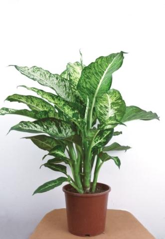Aglaonema je velmi užitečná rostlina.
