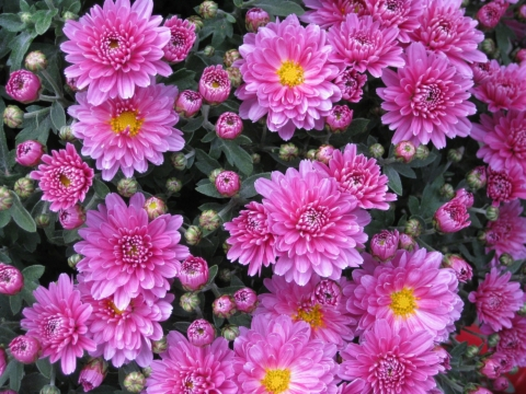 Pěstujte chryzantémy v domácnosti.