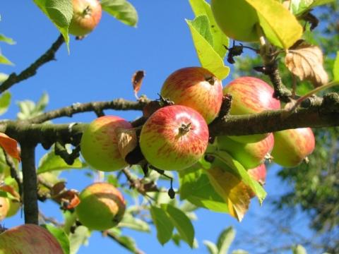 stara jablon